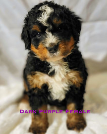 Dark Purple Female week 5 Bailey.jpg