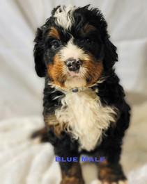 Blue Male week 5 Bailey.jpg