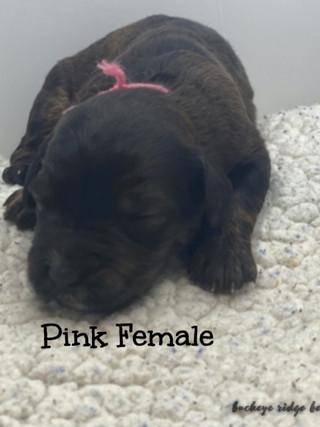belle pink female.jpg