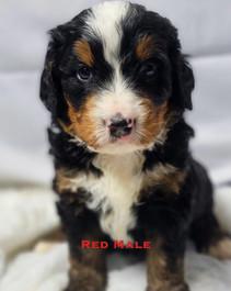 Red Male.jpg