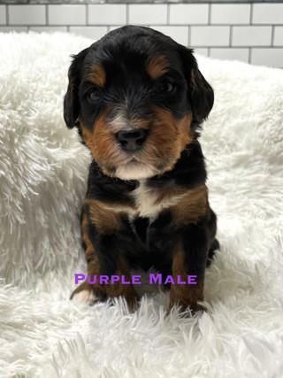 Purple Male week 3.jpg