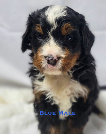 Blue Male.jpg