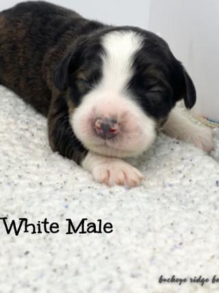 Belle white male.jpg