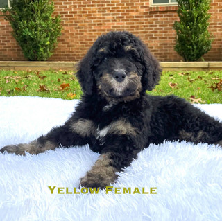 Yellow Female.jpg
