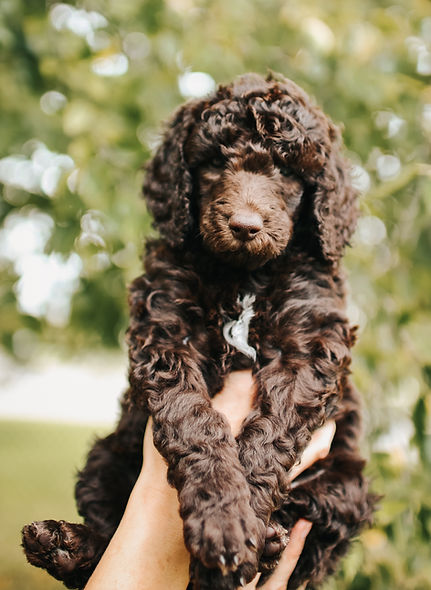 Standard Poodle Puppies for Sale - Michigan Standard ...