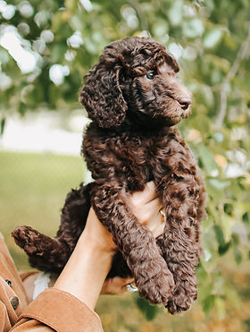 Standard Poodle Puppies For Sale Michigan Standard Poodle