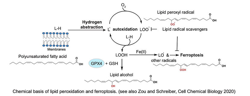Chemical basis of lipid peroxidation and