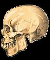 schadel-anatomie-vintage-alt_edited.png