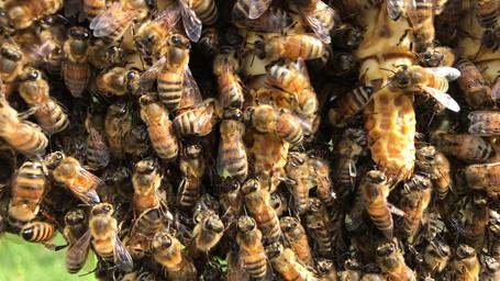 L'apicoltura nell'era dell'Antropocene