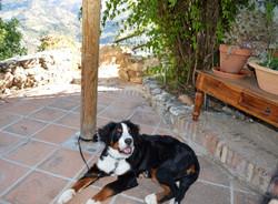 Trixie, our Berner Sennen puppy