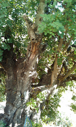 Protected algarroba tree