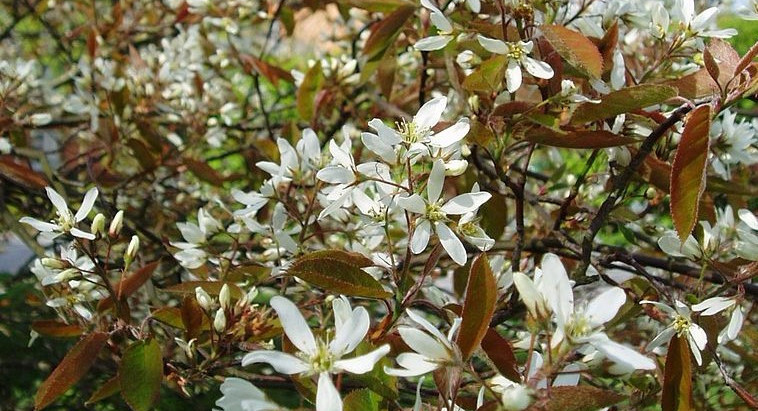 Trees for Small Gardens: Amelanchier lamarckii