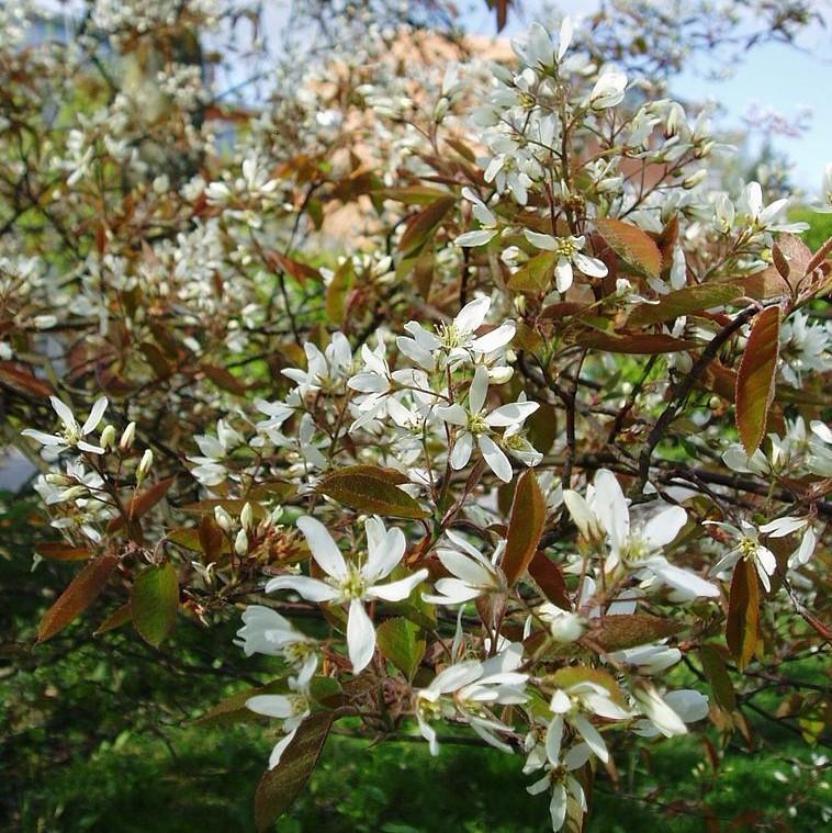 Amelanchier blossom