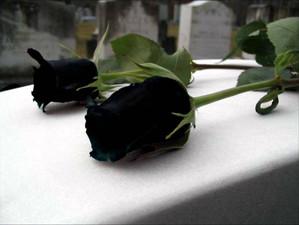 The Turkish Halfeti Black Rose