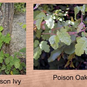A Gardner's Nightmare: Poison Ivy