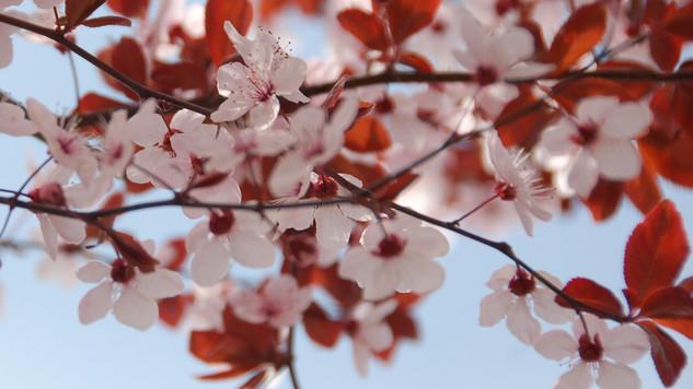 bloesem kyoto japan