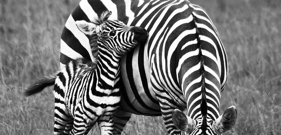 zebraatje zwart wit