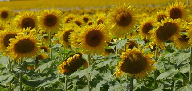 zonnebloemen frankrijk