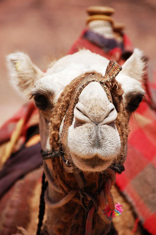 kameel jordanie