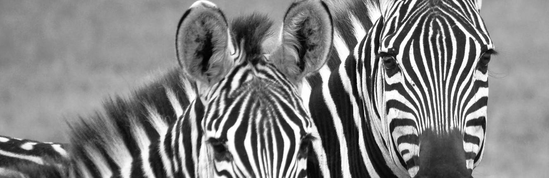 twee zebra's tanzania zwart wit