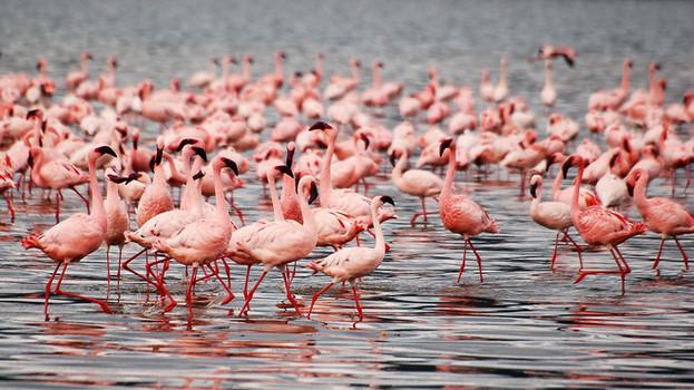 flamingo's tanzania