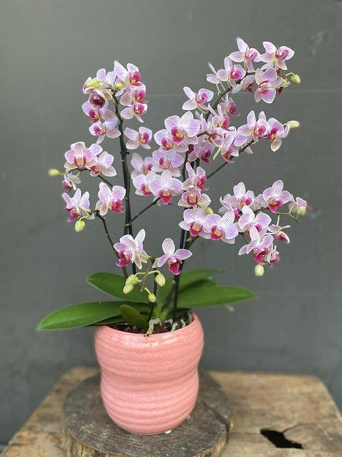 Roze orchidee in pot