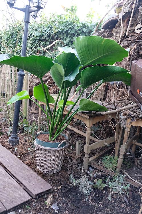Plant met grote blaren