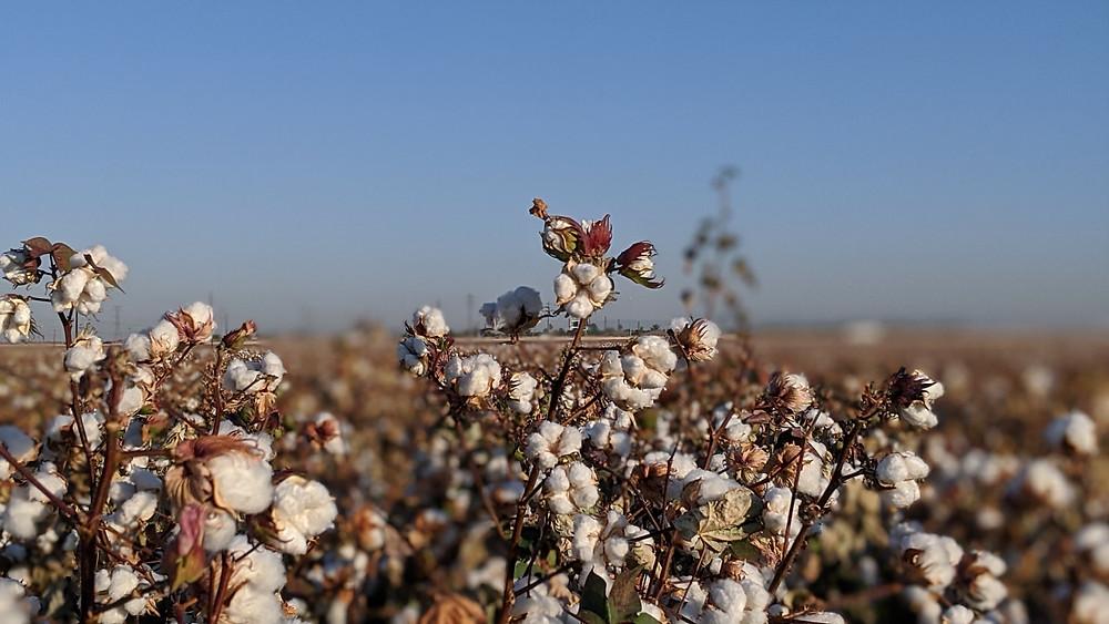 algodão exportar