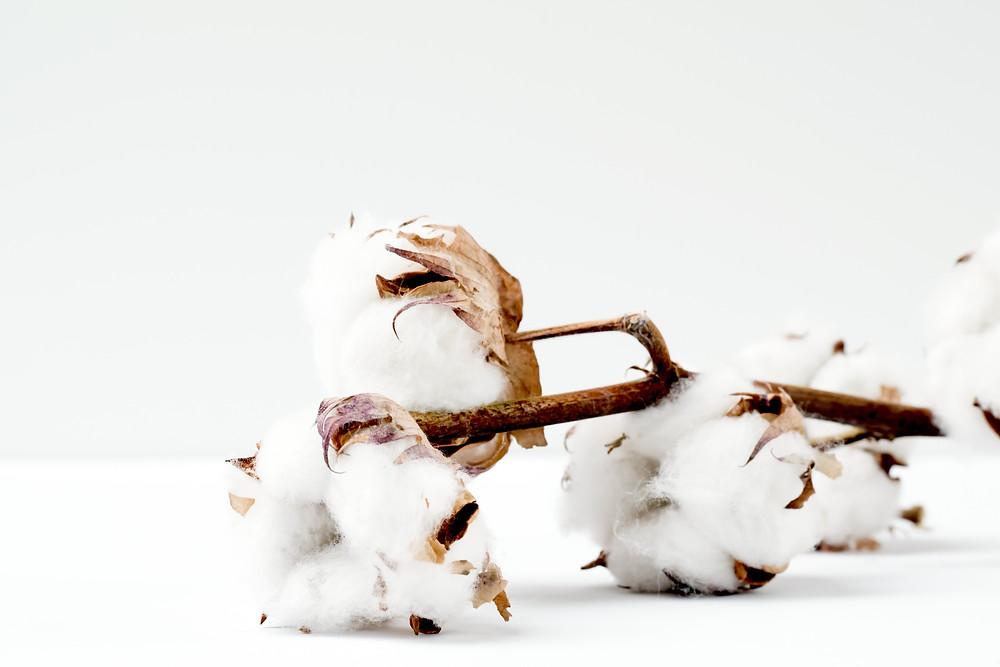 exportar algodão