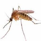 комар2.jpg