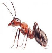 муравей.jpg