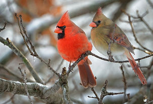 PAIR OF CARDINALS IN A WINTER SCENE (C) Clarence Stewart size 2520_edited.jpg