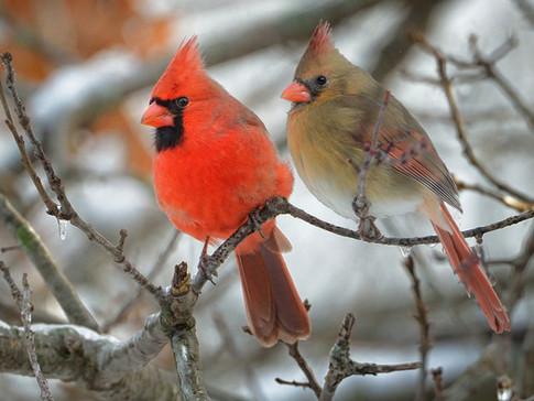 Northern cardinals © Clarence Stewart