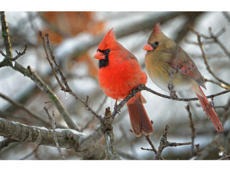 New paper on the Northern Cardinal genome!