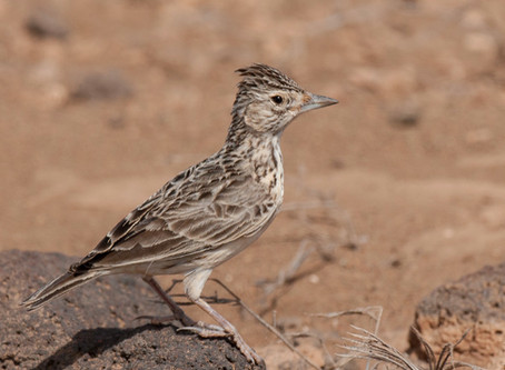 Our Raso lark paper is out in ProcB!
