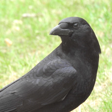 DSCN3739 crow portrait copy.jpg