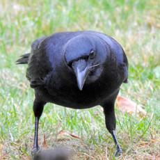 DSCN0445 crow face crop.jpeg
