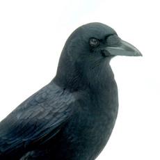 Snowy New England Crow by Sara Webley