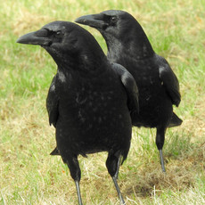Two Crows Watching by Sara Webley