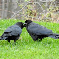 DSCN5282 2 crows crop.jpg