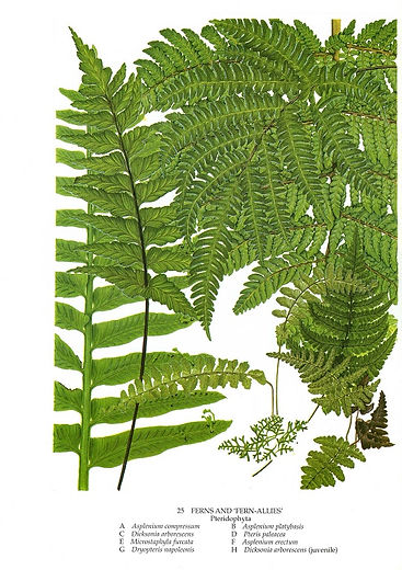 'Ferns and Fern Allies