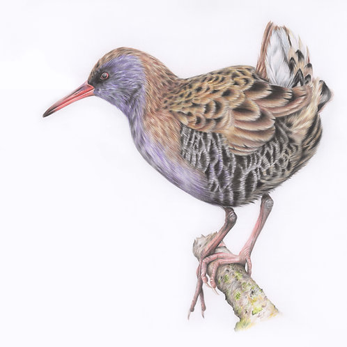 'Water Rail' Original