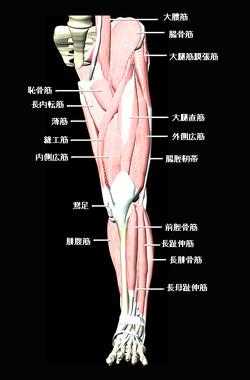 下肢前面の筋肉