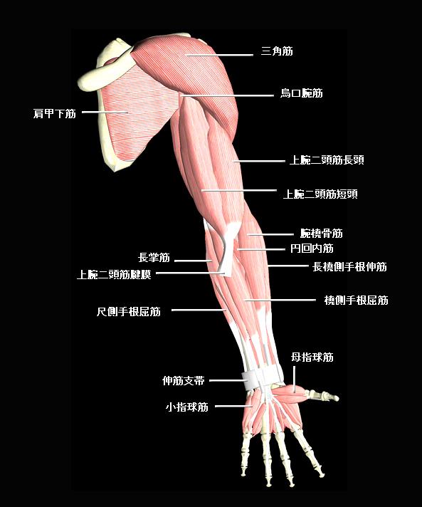 上肢前面の筋