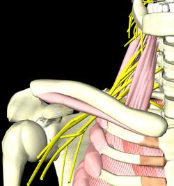 斜角筋と腕神経叢