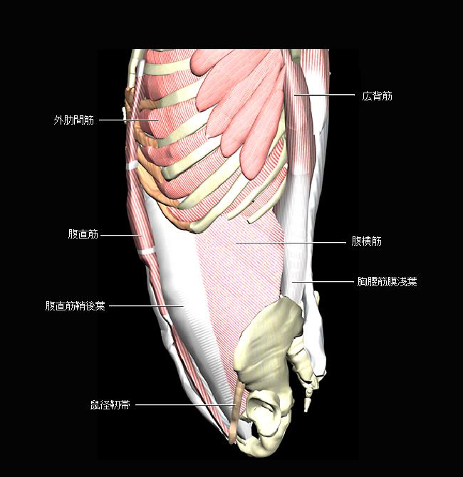 腹部側面の筋