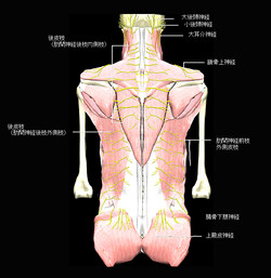 躯幹の背部の筋