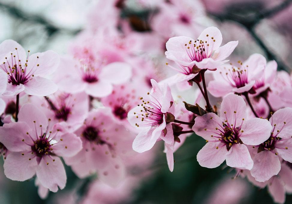 pink-petaled-flowers-closeup-photo-99273