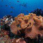 800px-Maldives_soft_coral.jpg