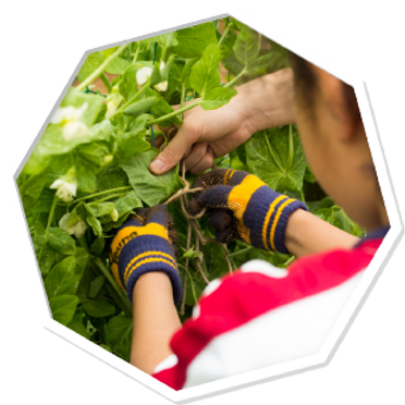 園児は芋掘りで食育を学びます